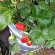 גידול תותים במיכלי פתיל