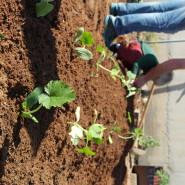 סדנא למשפחות במועצה אזורית גזר - שתילת בערוגות המורמות